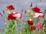poppy (2)