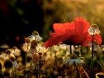 poppy (7)