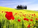 poppy_flower_7